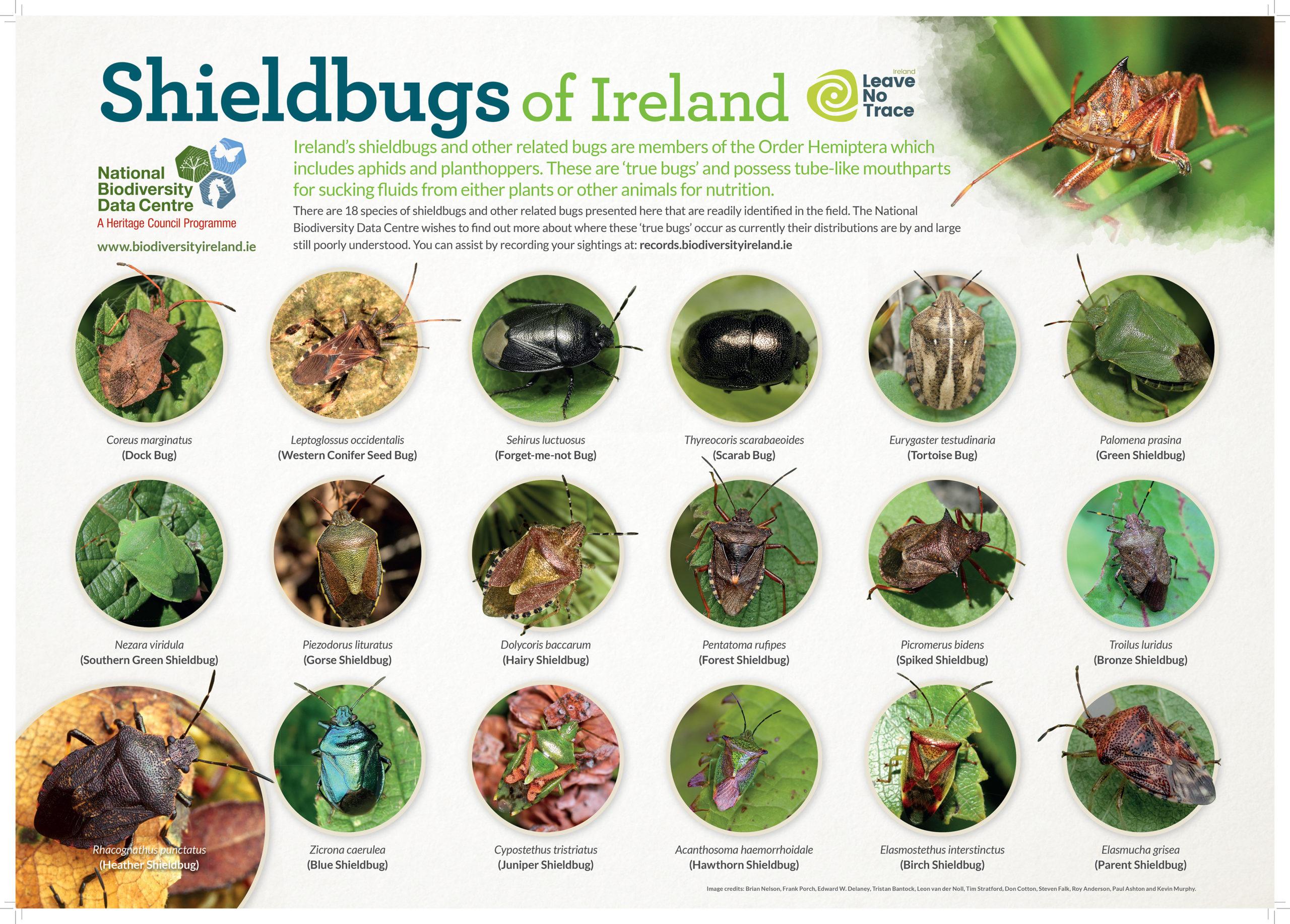 Shield Bug Identification Poster